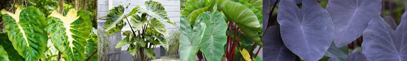 Colocasia esculenta - Growing Guide