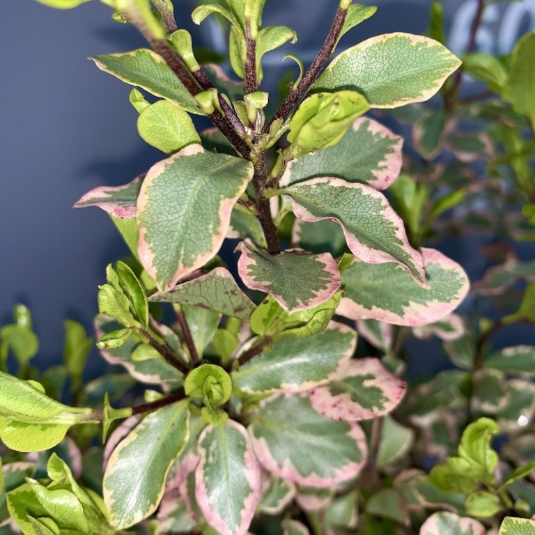 vine 5 leaves lanceolate